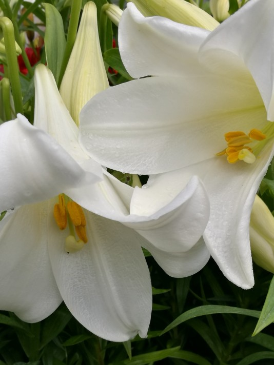 Lillies.
